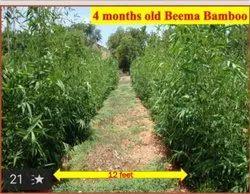 Beema Bamboo Tissue Culture Plants