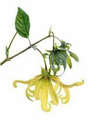 Ylang Pure Fragrances