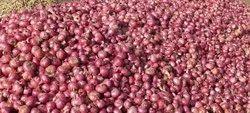 A Grade Maharashtra Old Onion, Net Bag, Packaging Size: 50 Kg