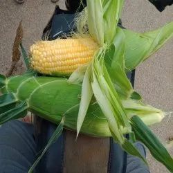 Yellow Corn Maize, Organic