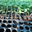 Syngenta Saaho Tomato Seedlings