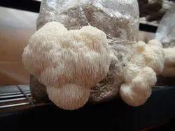 Pan India Lions Mane Mushroom, Packaging Type: Carton, Packaging Size: 5 Kg