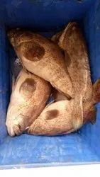 Bleckers Grouper Fish, For Restaurant, Packaging Type: Thermocol