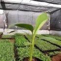 G9 Banana Tissue Culture Plant