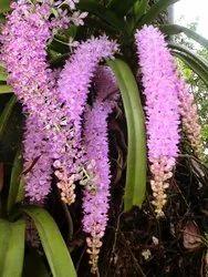 Assam Orchid Plant