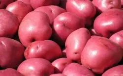 Red A Grade LR Seed Potato, Packaging Size: 50 kg