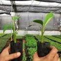 Nendran Banana Plant