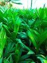 Arecanut Saplings Plant