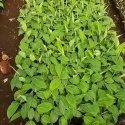 Williams Banana Plant