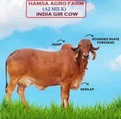 A2 Gir Cow Milk