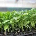 Capsicum Seedling