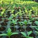 Hybrid Marigold Seedlings