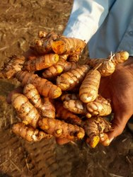 Unpolished Salem Green Turmeric, For Spices
