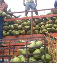 Solid B Grade Tender Coconut, Packaging Size: 10 Kg, Coconut Size: Small