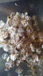 Natural Pethodiaya Plant Seed, Packaging Type: Packet