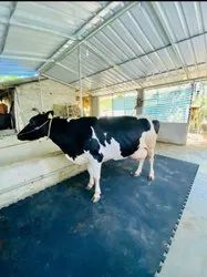 Cow Mats (Ultra Heavy Duty) Interlocking type