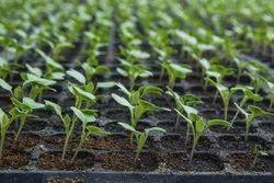 Cauliflower Seedling