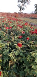 红色泰姬陵绝密荷兰玫瑰植物,大小:9英寸植物,包装尺寸:运输类型