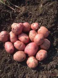 A Grade Potatoes, Packaging Type: Gunny Bag, Packaging Size: 50 Kg