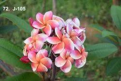 充分的太阳曝光粉红色(花)异国情调泰国羽毛花植物,庭院,夏天绽放