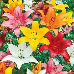 Asiatic Lily Flower Bulbs