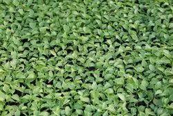 Chilli Seedling