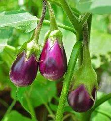 A Grade Purple Fresh Brinjal Vegetable, Gunny Bag, 20 Kg