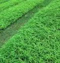 Sugarcane Tissue Culture Plants