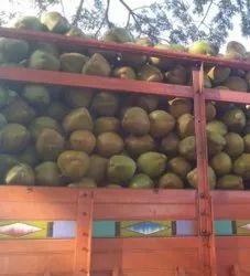 Solid 30 Kg Green Tender Coconut, Coconut Size: Large