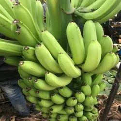 A Grade Fresh Green Banana, Packaging Size: 10 Kg, Packaging Type: Carton