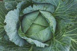 Leafy Green A Grade Fresh Cabbage, Gunny Bag, 10 Kg