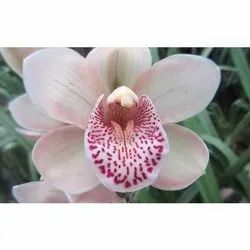 Cymbidium Pink Valley Freestyle Heaven Scent Pot Plants, For Party Decoration, Packaging Type: Box