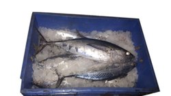 Aqua Fauna Silver Fresh Chill Seafood, 50 Kg, Packaging Type: Thermocol Box