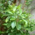 Henna Leaf Dry Extract