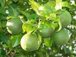 Mosambi Fruit Plant