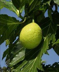 Bread Fruit Plant