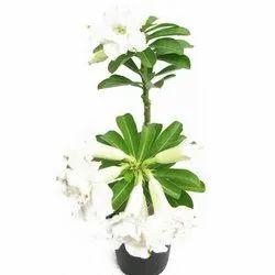 Adenium White Flowering Plant