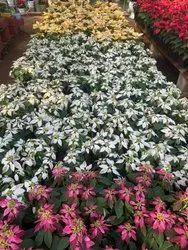Rectangular Polypropylene POINSETTIA, LOBSTER PLANT, For Garden