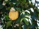Citrus Medica Extract