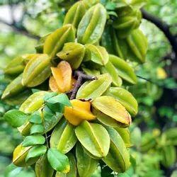 Star Fruit Plant