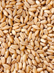 Natural PBW 502 Wheat Seeds, 12%, Packaging Size: 40 Kg