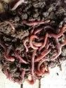 Red Earthworms for composting