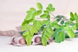Moringa Seeds Organic