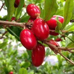 Miracle Fruit Plant