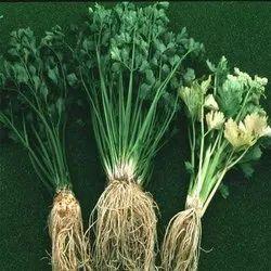 Cinnamomum Zeylanicum Extract