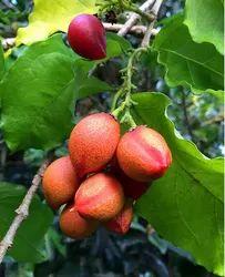 Peanut Butter Fruit Plant