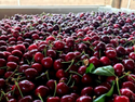California Cherry Plant