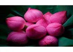 Pink Fresh Lotus Flower