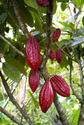 Cocoa Fruit Plant