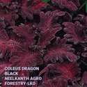 Coleus Dragon Black